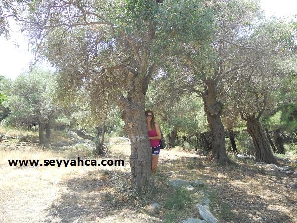 Thassos-Aliki Arkeolojik Alanı Zeytin Ağaçları...