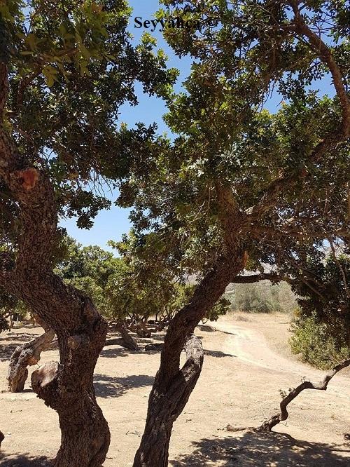 Sakız Ağacı-Sakız Adası